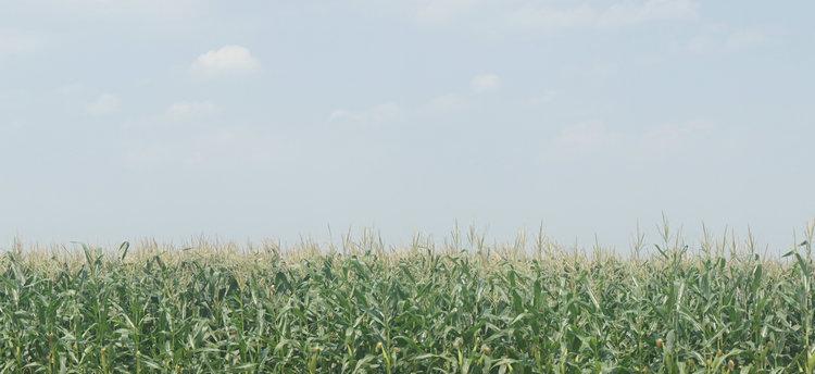 青贮玉米种植基地2